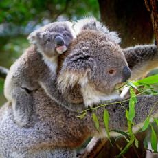 Baby-koala-on-mothers-back